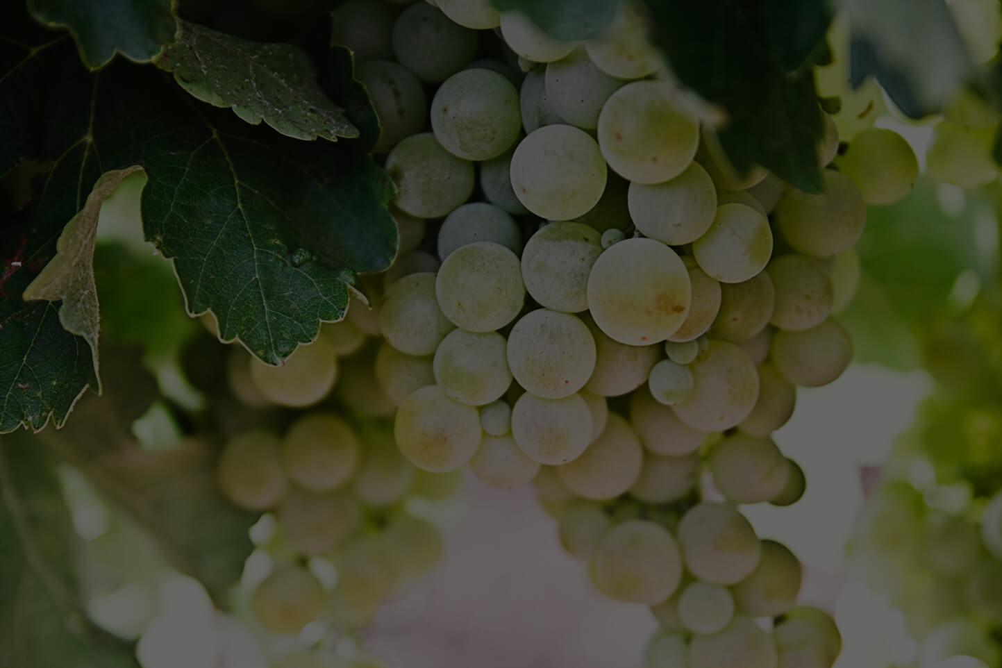Chilenskt vitt vin